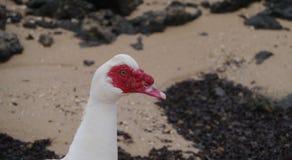 Ein Porträt einer Flugente auf dem Strand Lizenzfreies Stockfoto