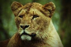 Ein Porträt einer Löwin lizenzfreies stockfoto