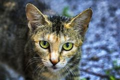 Ein Porträt einer Straßenkatze, eine Katze untersucht die Kamera lizenzfreie stockfotografie