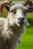 Ein Porträt eines ausdrucksvollen Schafs, das in Island weiden lässt Stockbilder