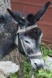 Ein Porträt eines Esels, sein Kopf senkte mit traurigen Augen Stockfoto