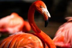 Ein Porträt eines Flamingos, der ehrfürchtig schaut lizenzfreies stockfoto