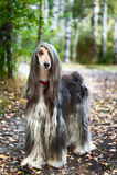 Ein Porträt eines Hundes, ein afghanischer Windhund Der Hund ist wie ein Mann Lizenzfreies Stockfoto