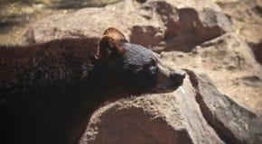 Ein Porträt eines jungen schwarzen Bären Stockbild