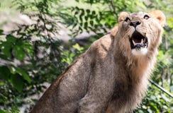 Ein Porträt eines Löwes Stockfoto