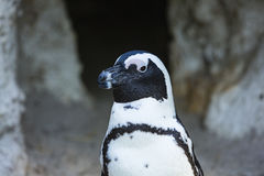 Ein Porträt eines Pinguins Stockbilder