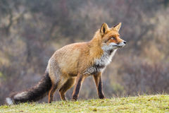 Ein Porträt eines roten Fuchses Lizenzfreies Stockfoto