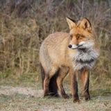 Ein Porträt eines roten Fuchses Lizenzfreies Stockbild