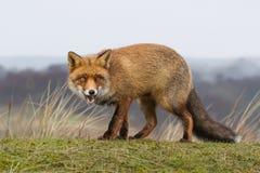 Ein Porträt eines roten Fuchses Stockfotografie