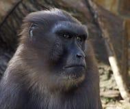 Ein Porträt eines schwarzen Makakenmannes Lizenzfreie Stockfotos