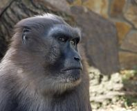 Ein Porträt eines schwarzen Makakenmannes mit Haube Stockfotografie