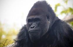 Ein Porträt eines Westtiefland Silverback-Gorillas Stockbilder