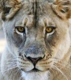 Ein Porträt von afrikanischen Lion Female Stockbild