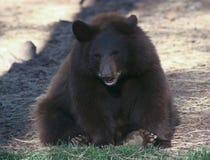 Ein Porträt von schwarzen Bärenjunges Stockfotos