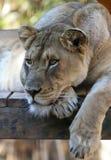 Ein Porträt von weiblichen Lion Lounging in einem Zoo Lizenzfreie Stockfotos