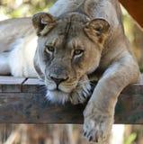 Ein Porträt von weiblichen Lion Lounging in einem Zoo Stockfoto