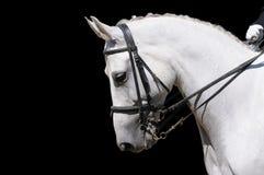 Ein Portrait des grauen Dressagepferds getrennt Stockfotografie