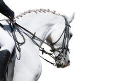Ein Portrait des grauen Dressagepferds getrennt Stockfoto