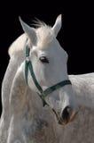 Ein Portrait des grauen Pferds getrennt auf Schwarzem Stockfotos