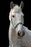 Ein Portrait des grauen Pferds getrennt auf Schwarzem Stockfoto