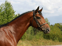 Ein Portrait des Hälfte-arabischen Stallion Stockfotos