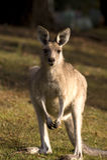 Ein Portrait des Kängurus Stockbilder