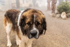 Ein portrate des großen Bernhardiner-Hundes Lizenzfreie Stockfotos