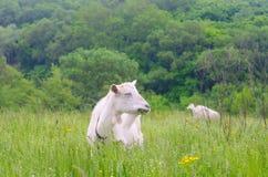 Ein portret der weißen Ziege Lizenzfreie Stockfotografie