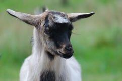 Ein portret des lustigen schwarz-weißen Ziegenkindes Stockbilder