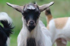 Ein portret des lustigen schwarz-weißen Ziegenkindes Lizenzfreie Stockfotos