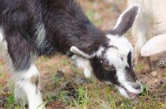 Ein portret des lustigen schwarz-weißen Ziegenkindes Lizenzfreie Stockbilder