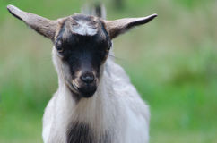 Ein portret des lustigen schwarz-weißen Ziegenkindes Lizenzfreie Stockfotografie