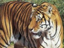 Ein Porträt eines Bengal-Tigers im Wald Stockfoto