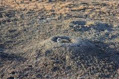 Ein Präriehund stößt sein hed von seinem Haus, das auf Gefahr überprüft lizenzfreie stockfotografie