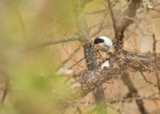 Ein Pringle´s Puffback Vogel Lizenzfreie Stockbilder