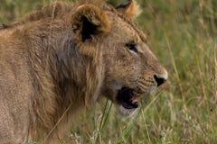 Junges männliches Löwe-Profil Stockfoto