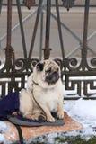 Ein Pug, der auf seinen Meister wartet stockfotografie
