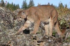 Puma Lizenzfreies Stockfoto