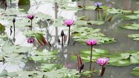 Ein purpurroter Lotos stock video footage