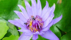 Ein purpurroter Lotos und eine Biene stock video footage