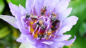 Ein purpurroter Lotos und eine Biene stock video