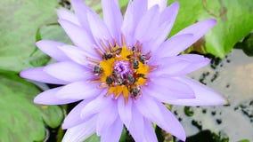 Ein purpurroter Lotos und eine Biene stock footage