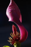 Ein purpurrotes Blumenblatt mit den Staubgefässen und den Stempeln Stockbild