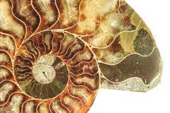 Ein Querschnitt durch ein versteinertes Ammonitoberteil stockfoto