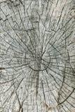 Ein Querschnitt einer alten Eiche, grauer Hintergrund Stockbilder