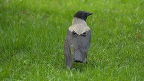 Ein Rabe hält sein Lebensmittel prize Porträt einer schwarzen Krähe, des Raben oder des Turmes Schwarze Dschungelkrähe, die ein S Stockfotos