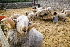 Ein RAM und ein Schaf Stockfotos