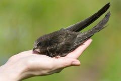 Ein realer Vogel in der Hand. Schnell Stockbild