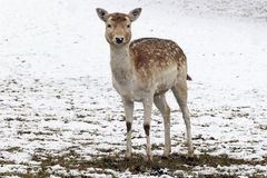 Ein recht junger weiblicher Damhirsch steht im Schnee auf einer Wiese lizenzfreie stockfotos