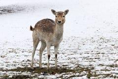 Ein recht junger weiblicher Damhirsch steht im Schnee auf einer Wiese lizenzfreies stockfoto
